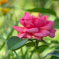 Роза в саду :: lady v.ekaterina