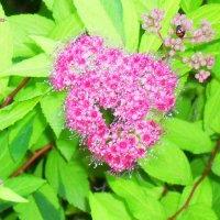 Обаяние розового соцветия :: Daria Vorons