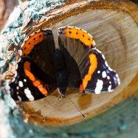 Бабочка адмирал на дереве :: Александр Синдерёв