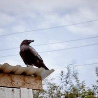 Чёрный ворон...  :: Владислав Левашов