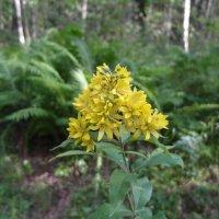 лесной цветок :: Владимир
