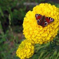 Бабочка :: Лидия Суюрова