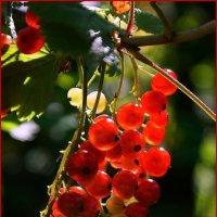 Красная смородина :: san05 -  Александр Савицкий