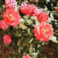 Розы :: Svetlana Lyaxovich