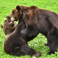 Медвежьи забавы :: Татьяна Каневская
