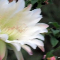 Цветок кактуса. :: Валерьян Запорожченко