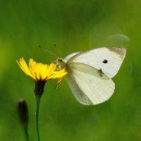butterfly :: Андрей Вестмит