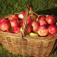 Яблочный сезон. :: нина