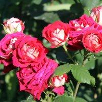 Как хороши, как све́жи были розы в моём саду! :: Валентина ツ ღ✿ღ