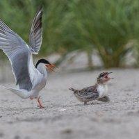 нападение на чужих птенцов :: Naum