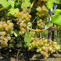 """Сорт винограда """"Галбена Ноу"""" :: Gen Vel"""