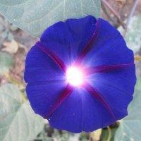 Цветок-фонарик 3 :: Алексей Кузнецов