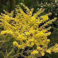 Барбарис в летнем саду :: Вера