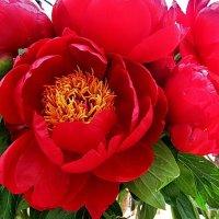 Пион Red Red Rose :: Татьяна