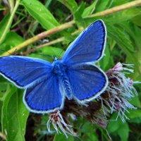 Голубянка Икар. Самец. :: vodonos241