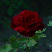 Красно-бордовая роза :: Александр Буянов