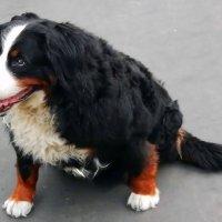 Собака на прогулке. :: Павел Нарышкин