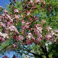 Как я люблю, когда в аллеях яблони цветут! :: Елена Павлова (Смолова)
