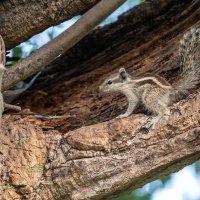 Белка пальмовая на дереве :: Oleg
