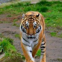 Амурский тигр :: Татьяна Каневская