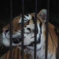 тигр :: Aleks Filhok
