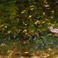 Одинокая утка в осенней воде :: Лана ***