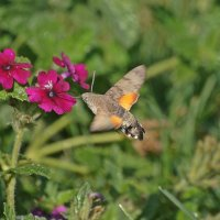Бабочка бражник – «колибри» :: Леонид leo