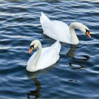Пара лебедей :: Georgy Kalyakin