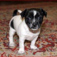 У наших собачек родился щеночек :: Татьяна Пальчикова