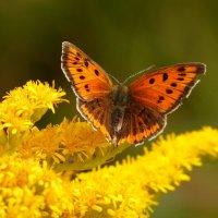 любят бабочки золотарник...5 :: Александр Прокудин