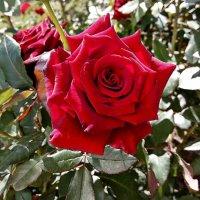 Сентябрьская роза -2 :: Владимир Бровко