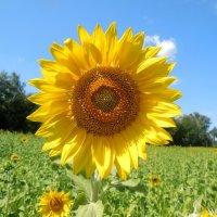 В хмурые, осенние дни пусть вас согреет это солнышко! :: Надежда