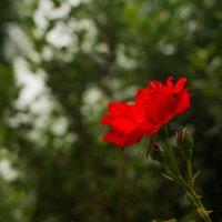 цветок :: Оксана Горбунова