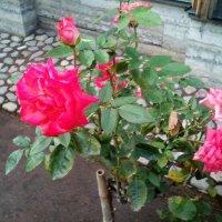 Розы в Летнем саду. (Санкт_Петербург). :: Светлана Калмыкова