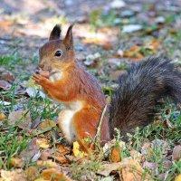 Ель в лесу, под елью белка, белка песенки поёт и орешки всё грызёт :: Леонид leo
