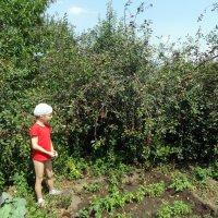 Как всегда-море вишни! :: Елизавета Успенская