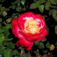 Пёстрая роза :: Нина Бутко