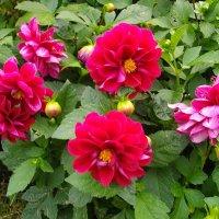 Георгины - осенние цветы... :: Лия ☼