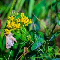 Мохнатая бабочка. :: Владимир M