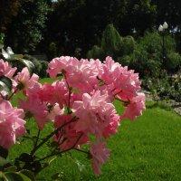 Розовая ветвь :: Ирина
