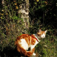 Портрет солнечного Кота :: Кай-8 (Ярослав) Забелин