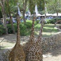 три жирафа :: Борис