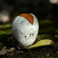 Це́зарский гриб. :: Светлана Ивановна Медведева