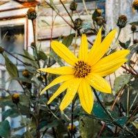 Желтый цветок :: Сергей Лындин