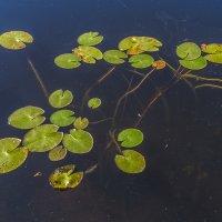 Осенние листья на воде :: Сергей Цветков