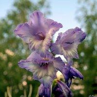 Про цветок гладиаторов... :: Андрей Заломленков