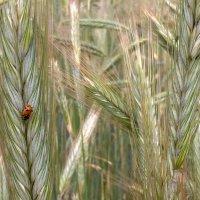 божья коровка в колосках пшеницы :: Ольга