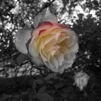 Последняя в холодном октябре, — Последняя, но даже здесь, у края Она осталась розой, умирая. :: Люба