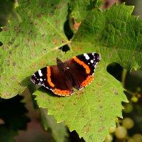 Бабочка Адмирал на виноградном мостике :: Надежд@ Шавенкова