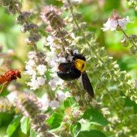 Соперничество шершня и пчелы- плотника :: Александр Деревяшкин
